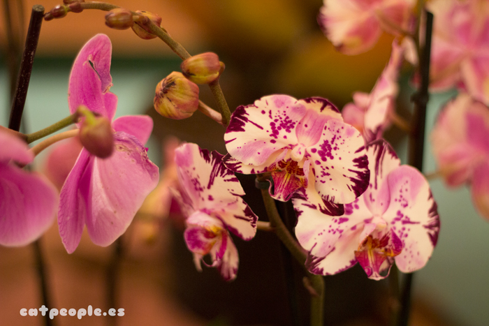 Orquídeas con manchitas