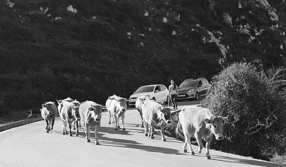 Vacas en la carretera a Lagos