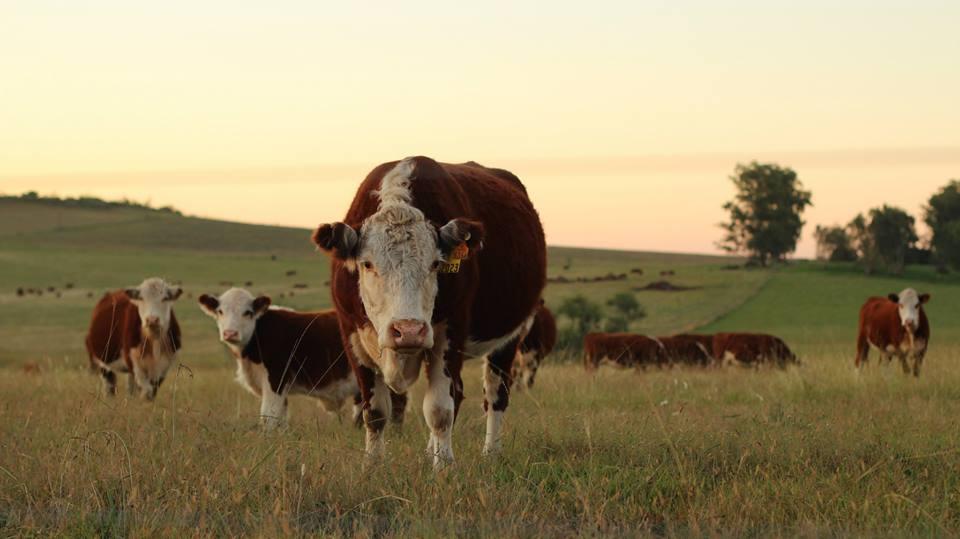 Vaca mirando con sospecha en Montevideo Uruguay Salto
